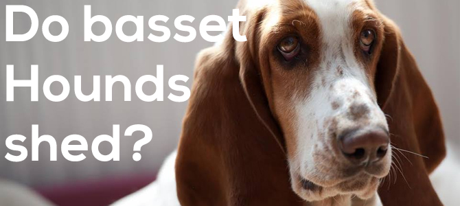 do basset hounds shed a lot