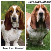 What's the DIFFERENCE between European vs American basset hound?