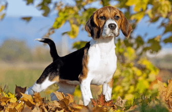 The Lovable Beagle Hound| All that you need to know about Beagle Puppies