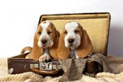 How To Pick Basset Hound Puppies?