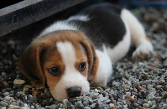 How to identify Reputed Basset Hound Breeders plus Overview of 3 of The Best Breeders
